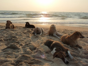 Stray dogs beach